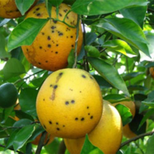 Allarme Coldiretti: arrivano dall'Africa arance malate