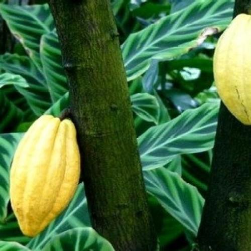 Cacao a rischio, ma cresce la richiesta