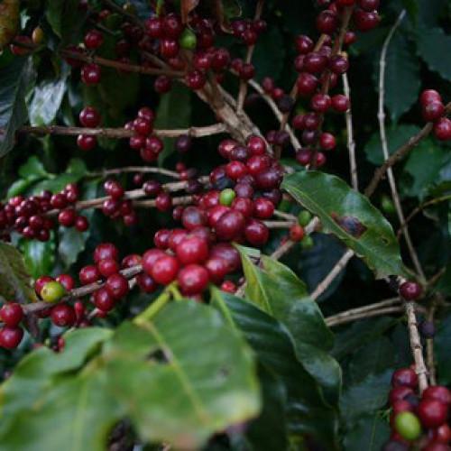 Obatà il caffè che resiste alla ruggine delle foglie