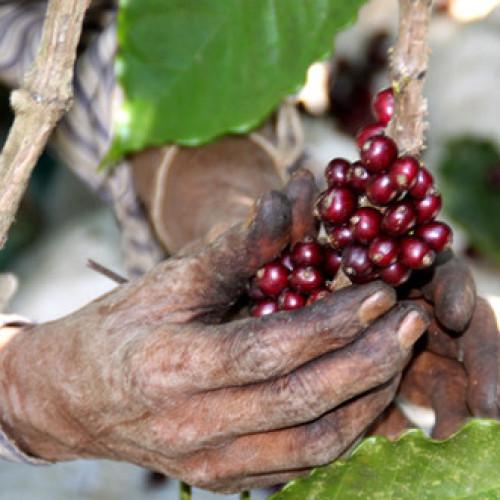 Cala l'offerta di caffè dall'India