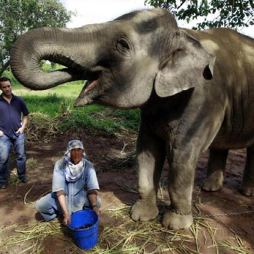 Caffè pregiati. Elefante versus zibetto.
