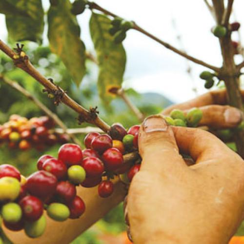Buone notizie per il caffè brasiliano