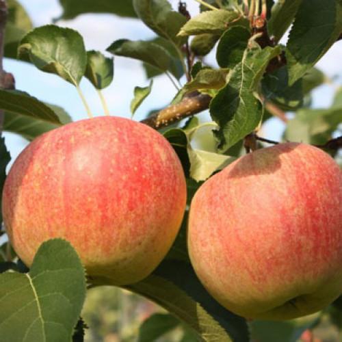 Svizzera. Uno snack diverso: la mela frizzante
