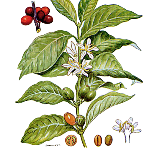 La pianta dell'Arabica è una specie in estinzione?