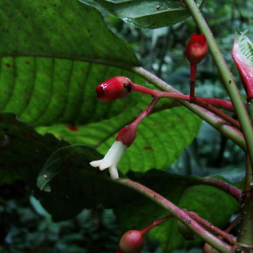 Già a rischio estinzione la pianta del caffè appena scoperta