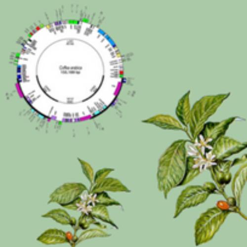Il DNA della Coffee Arabica non ha più segreti