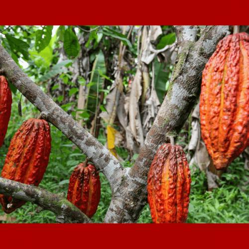 Mars finanzia una ricerca scientifica per salvare il cacao